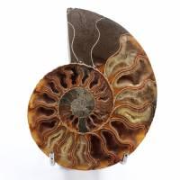 Ammonite segato e lucidato in un unico pezzo