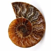 Fossile di ammonite lucido e segato