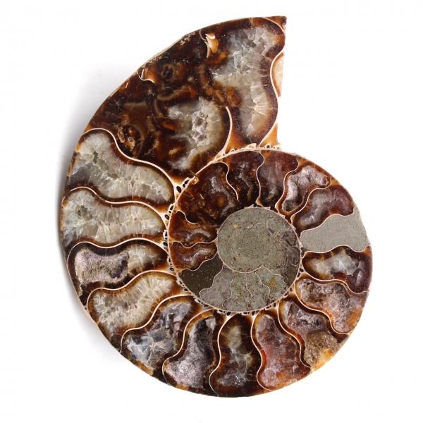 Fossili di ammoniti