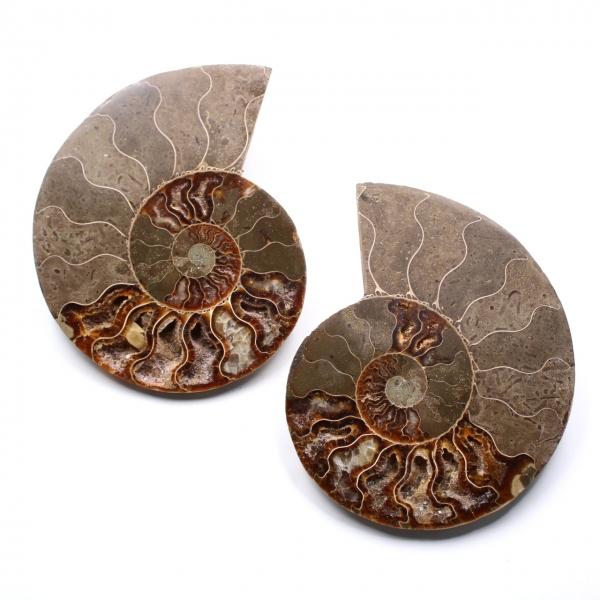 Fossili di ammoniti a doppio taglio e lucidati