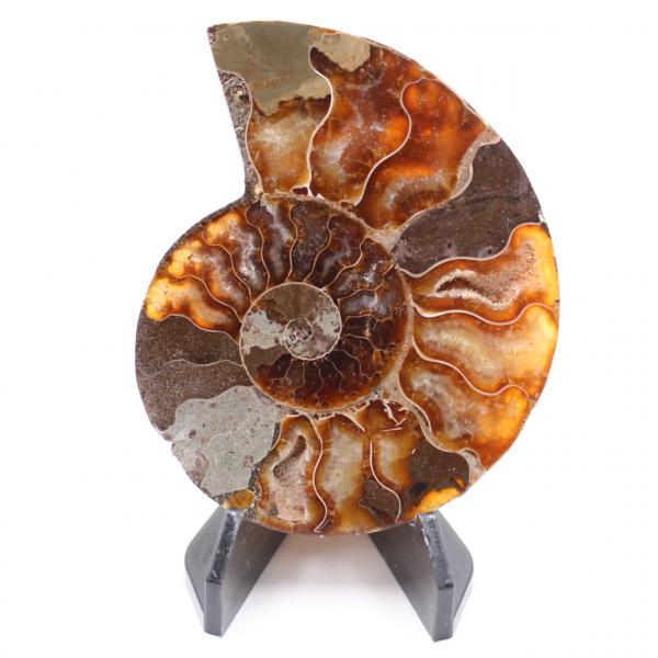 Fossile di ammonite lucido