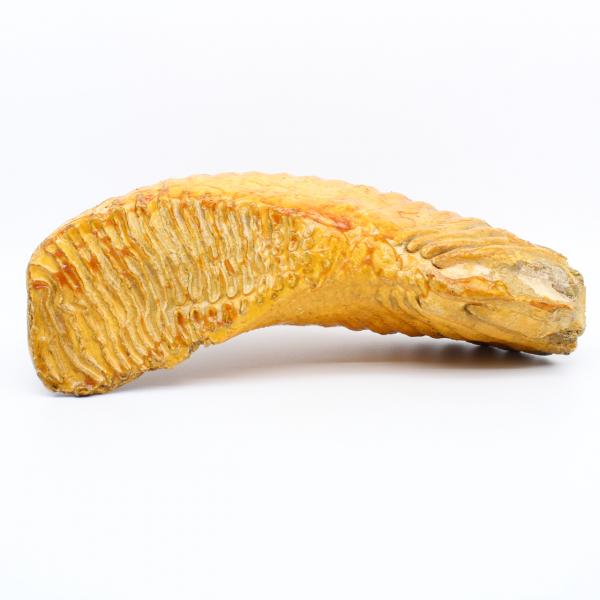 Mammut molare