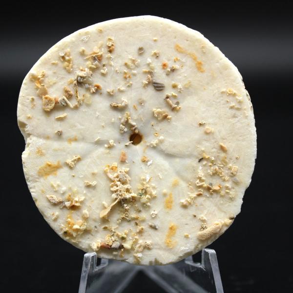 Scutella, riccio di mare fossile